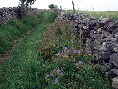 Meadow cranesbill in Limestone Way  drove lane